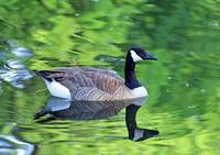 Canada Goose Reflection in Water