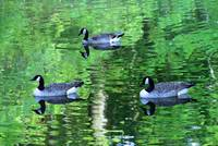 Geese Swimming in Green Water