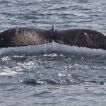 """Humpback Whale Tail"" by Eileen"