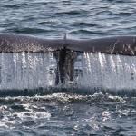 """Humpback Whale Tail Rain"" by Eileen"