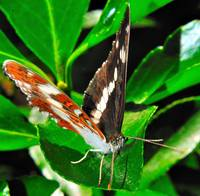 Japanese Butterfly 2