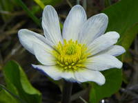 Alpine White Marsh Marigold