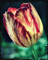 Yellow Red Tulip Perennial