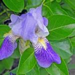 """""""Singular Iris"""" by LyndaLehmann"""