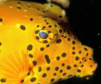 Boxfish Eye