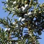 """""""Stem of Juniper Berries"""" by jay1blue"""