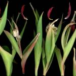 """Tulip Paints"" by LindaCavaney"