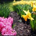 """""""Daffodil"""" by heartfeltcreations"""
