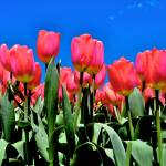 """Pink Tulip"" by heartfeltcreations"