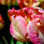 """Parrot Tulip"" by heartfeltcreations"