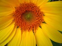 Sunflower Alive