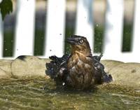 Wet Bird in the Bird Bath