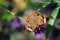Butterfly   Common Buckeye