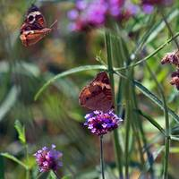 Butterflies Two Buckeyes Flying