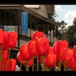 """Nannup Tulips"" by bloodychad"