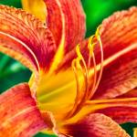 """Wild Orange Lily"" by FCushmanPhoto"