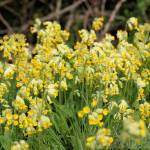 """Cowslips"" by rosemariesw"
