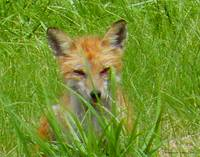 Fox in the Grass
