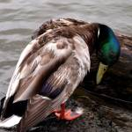 """""""Lost a Feather..my favorite pic 093"""" by waterfowlalexandriava"""