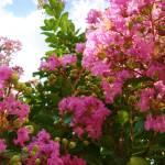 """Crepe Myrtle"" by DigitalCreations"