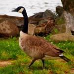 """Brisk Walk Next to the Potomac River002"" by waterfowlalexandriava"