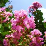 """Crepe Myrtle 2"" by DigitalCreations"