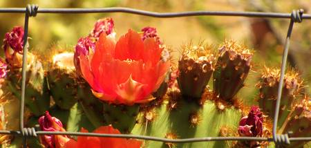 red cactus flower 6
