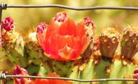 Red Cactus Flower with Fence