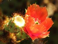 Red Cactus Flower 4