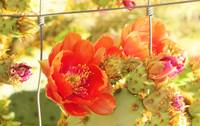 Red cactus flower 2