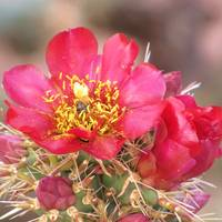 Red Cactus Flower wBee