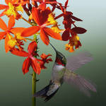 """""""Ruby Throated Hummingbird"""" by spadecaller"""