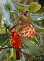 Cardinals in Magnolia Tree