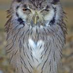 """White Faced Scops Owl"" by loversdream"