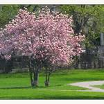 """""""Flowering Magnolia Park Landscape"""" by CuriousEye"""