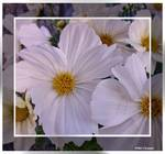 White framed flowers by micspics444