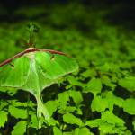 """Luna Moth"" by chrisromano"