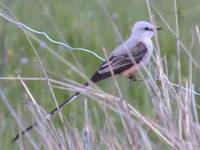 Scissor-tailed Flycatcher in NW Oklahoma