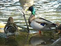Mallard Duck Couple Wading in Pond in NE Oklahoma