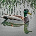 """Sitting Duck II..."" by ThomasJoseph"
