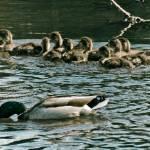"""""""Ducks in a Row"""" by ThomasJoseph"""