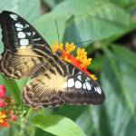 """Clipper Butterfly, Parthenos sylvia,"" by loversdream"