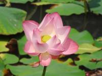 Lotus Standing Upright