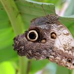 """Owl Butterfly, Caligo memnon"" by loversdream"