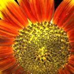 """""""Sunflower"""" by geoffe"""