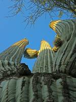 Mighty Saguaro