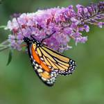 """Butterfly  Monarch on Pink Butterfly Bush"" by KsWorldArt"