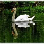 """Swan..."" by ThomasJoseph"