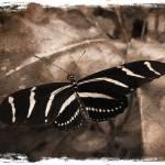 """""""Butterfly"""" by geoffe"""