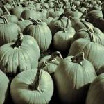 """Pumpkin Patch"" by geoffe"